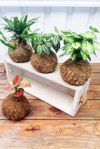 Kokedama July & August