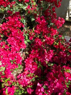 Flowering Bouganvillea