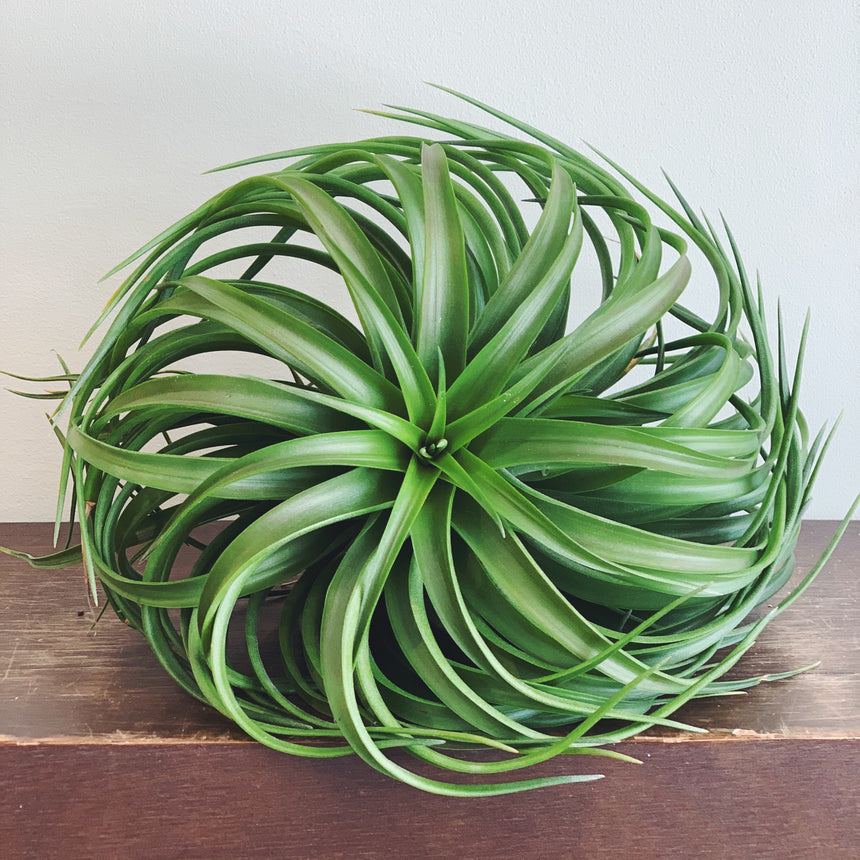 AIRPLANT - BRIGHT GREEN
