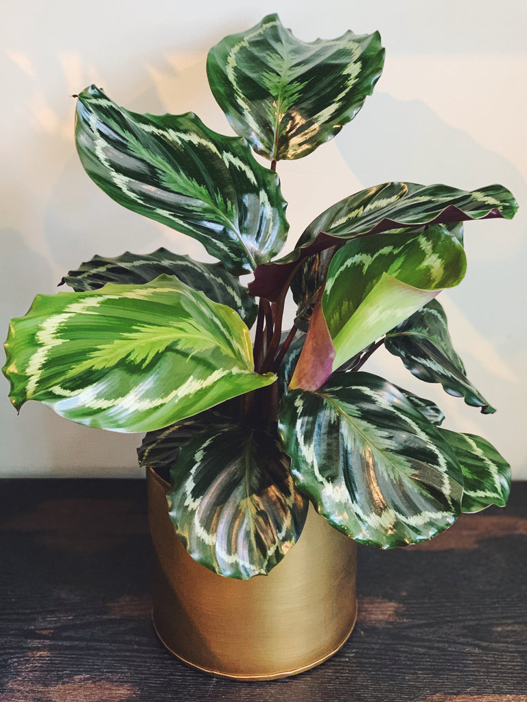 Calathea Medallion plant available at Cymbidium Floral
