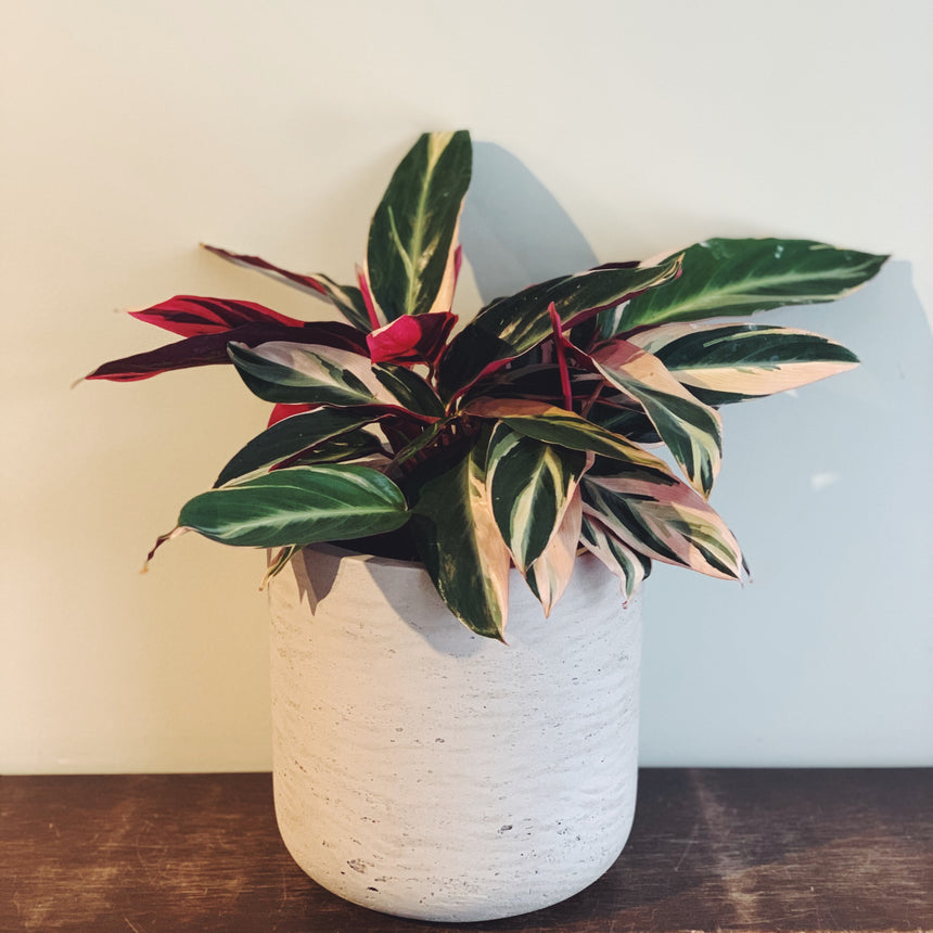 Calathea plant with green and white variegated leaves that are hot pink on the underside.  Plant is in grey cement textured pot.