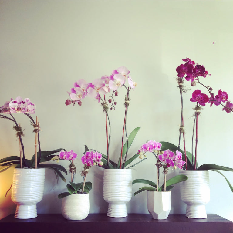 "Double stemmed phalaenopsis orchids in 3"", 4"", and 6"" diameter ceramic pots."