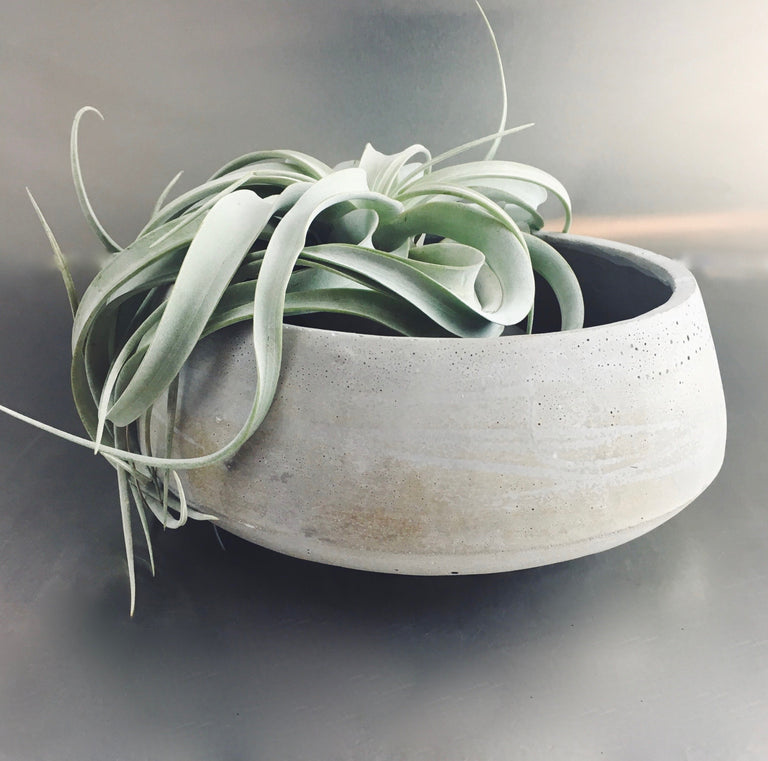 Large air plant in a decorative bowl with river rocks