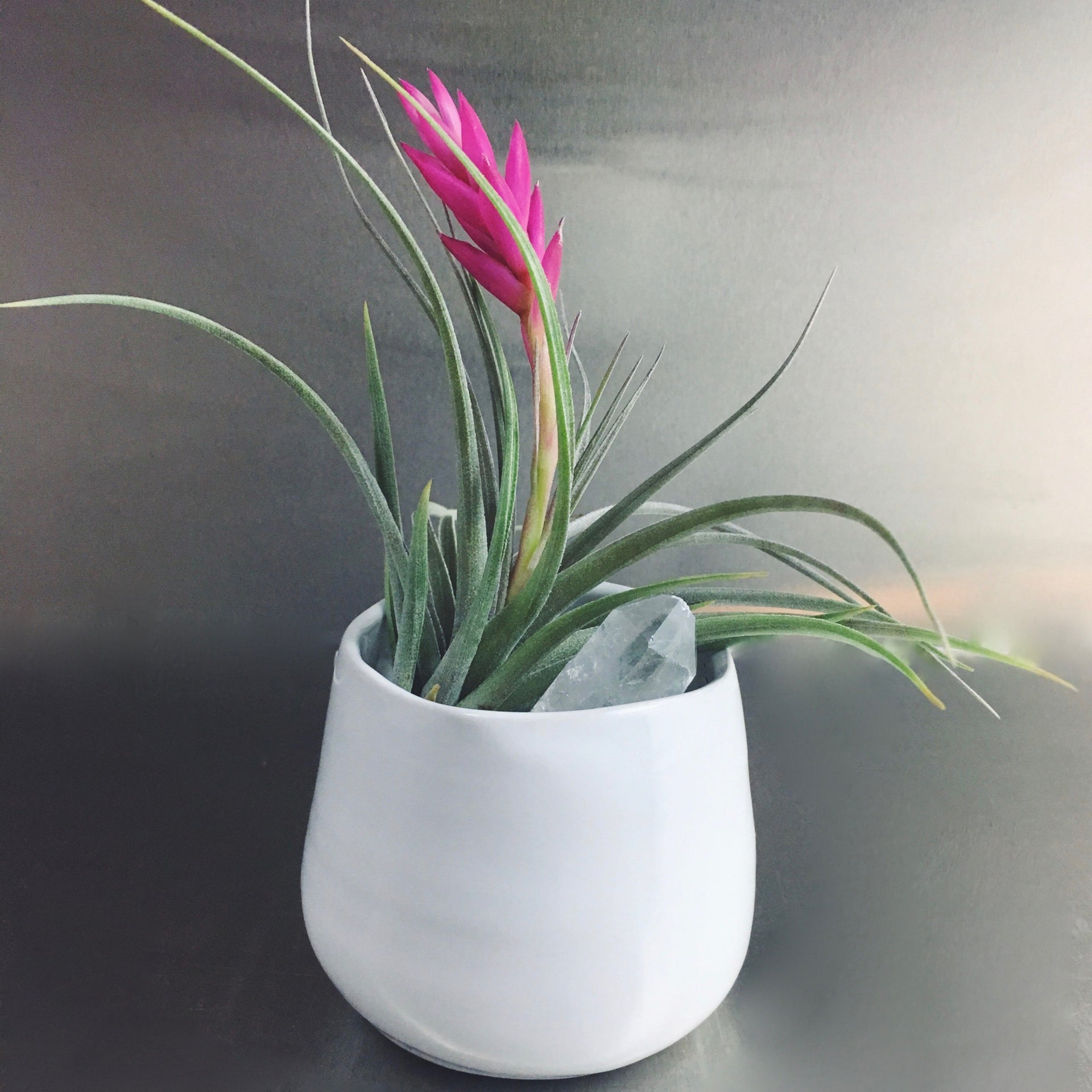 Small air plant in ceramic pot accented by a clear quartz crystal