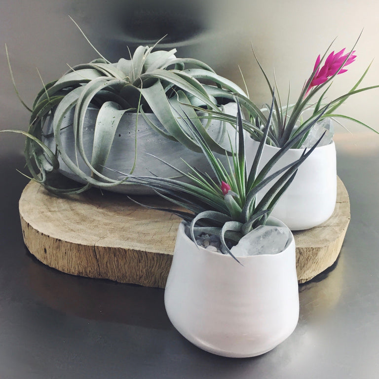 Small and large air plants offered for sale at cymbidium floral.
