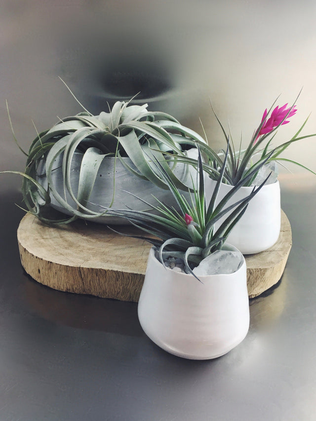 air plants in small or large sizes in decorative pots
