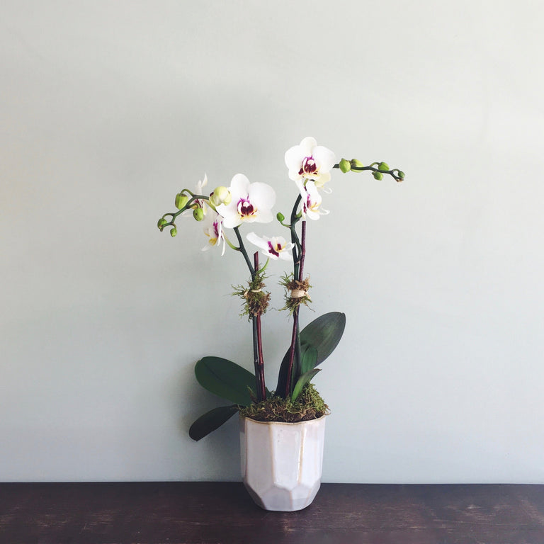 "Double stemmed phalaenopsis orchid in 3"" diameter ceramic pot available for delivery."