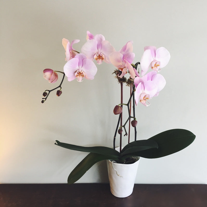 "Double stemmed phalaenopsis orchid in 4"" diameter ceramic pot available for delivery."