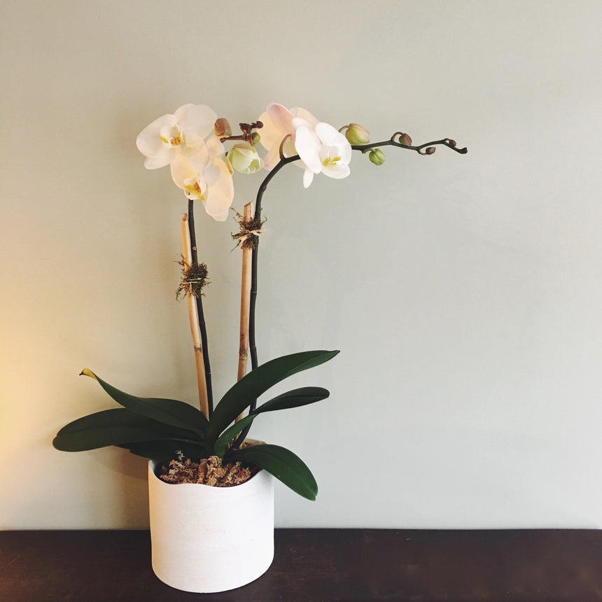 "Double stemmed phalaenopsis orchid in 6"" diameter ceramic pot."