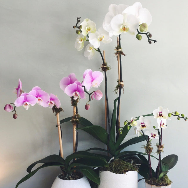 "Double stemmed phalaenopsis orchids in 3"", 4"", or 6"" diameter ceramic pots."