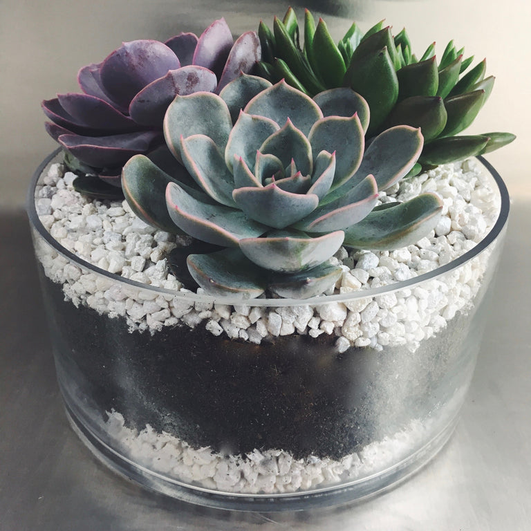 Grouping of three succulent plants planted in a low glass bowl with white pebbles.