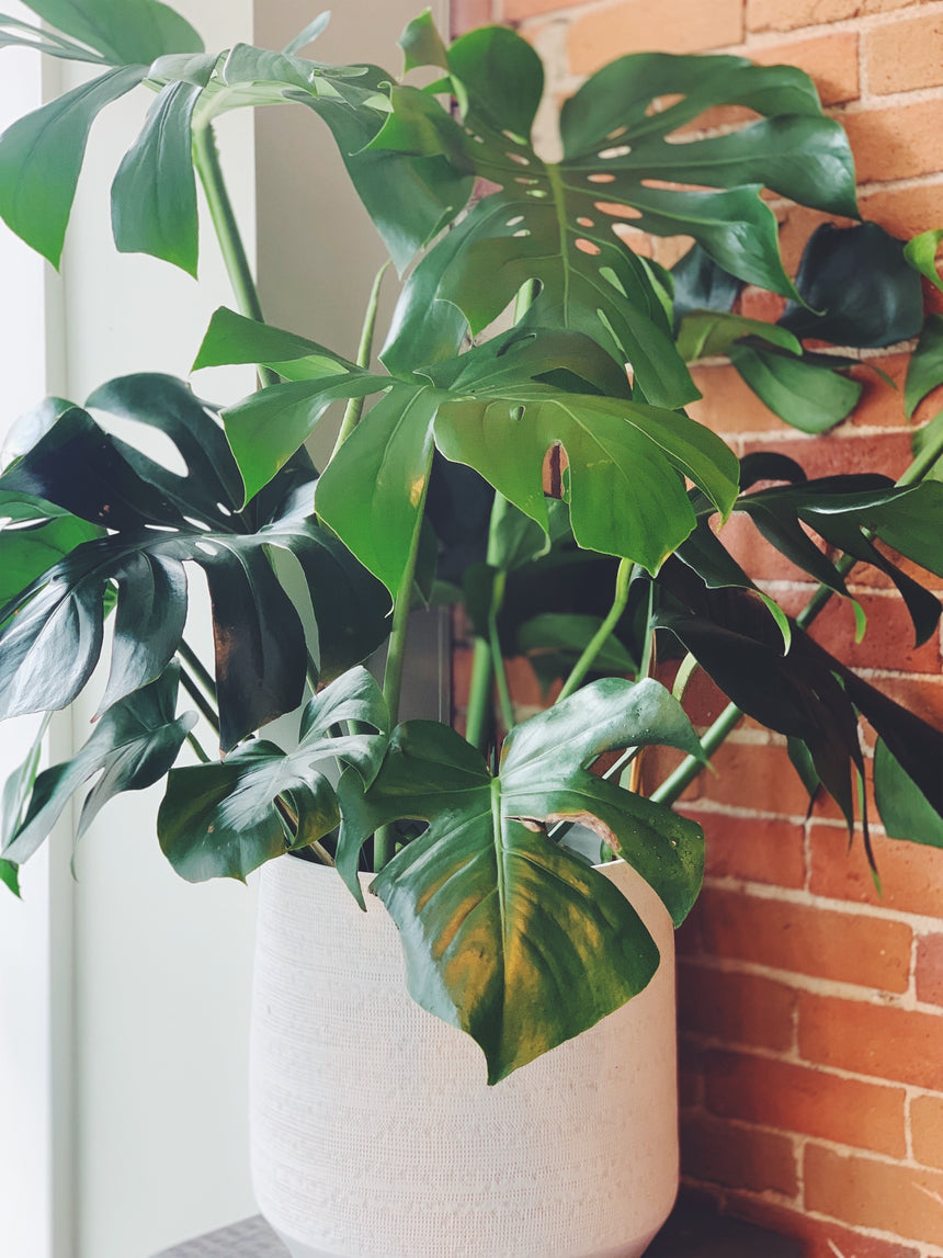 MONSTERA FLOOR PLANT