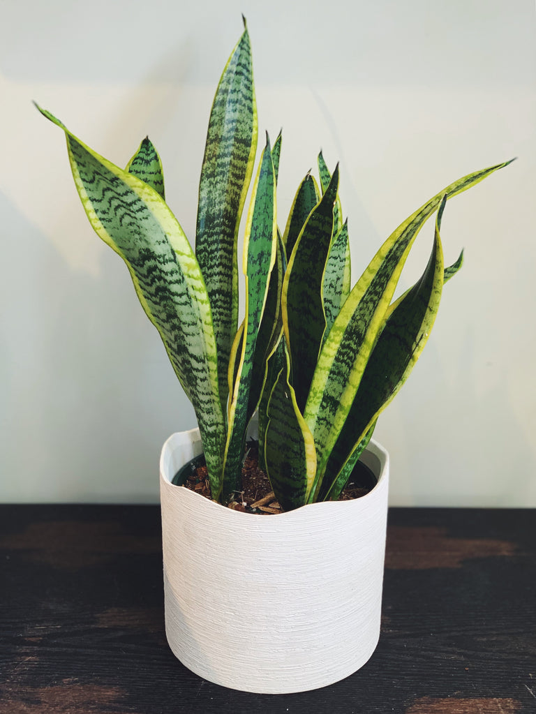 Snake plant laurenti available at Cymbidium Floral