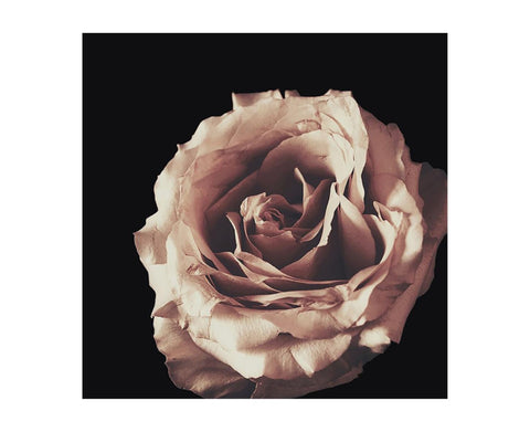 January Rose Giclee