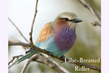 Lilac-Breasted Roller - Opulence - 4oz