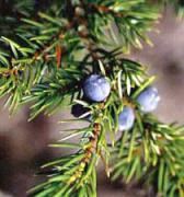 Juniper Berries for making Gin