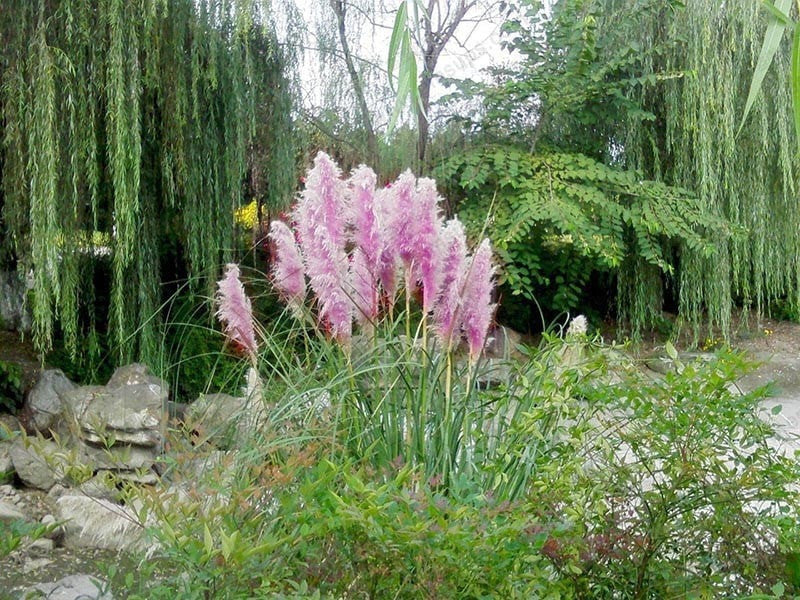 Rare Purple Pampas Grass Seeds