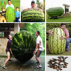 30 Giant Watermelon Seeds