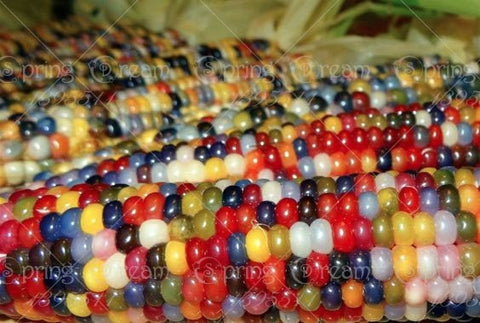 Rainbow Corn Seeds