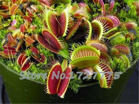 Image of Venus Fly Trap