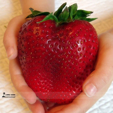 Rare Organic Heirloom Giant Strawberry Seeds