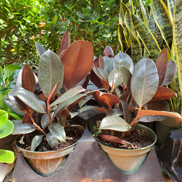 "Rubber Tree (6"" pot)"
