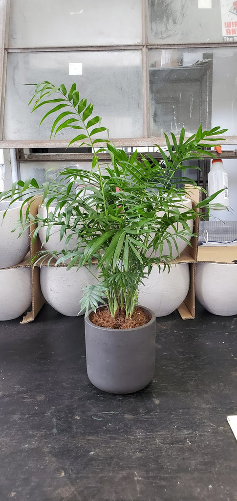 Neathe Bella Palm (Fibercrete Planter)
