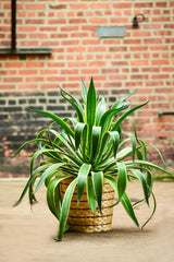 Variegated Dwarf Agave Interior Foliage Design