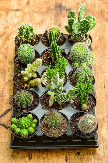 Assorted Cactaceae Cactus Tray, 15 Pack