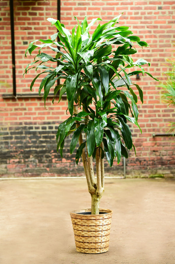 Dracaena fragrans 'Massangeana' (Branched)