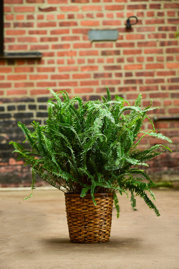 Kimberley Queen Fern