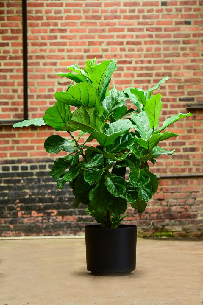 Ficus Lyrata Bush Interior Foliage Design