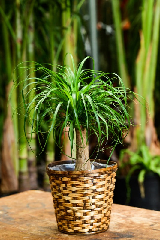 Ponytail Palm Delivery NYC Woven Basket Gift
