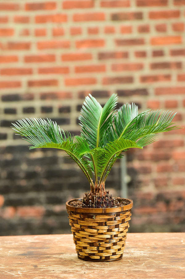 Sago Palm Bonsai