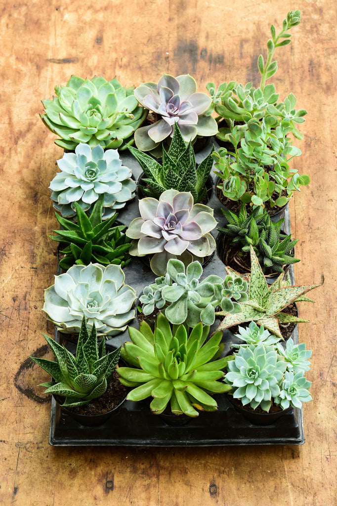 Assorted Succulent TRAY, 15 PACK