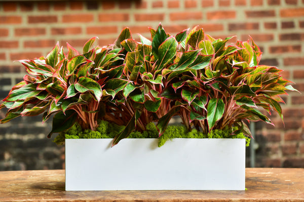 Red Aglaonema Tabletop Rectangle Planter Delivery NYC