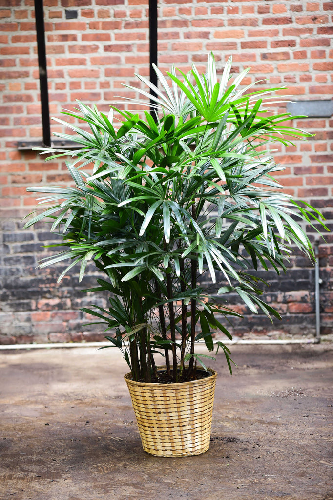 Rhapis Palm (Lady Palm)