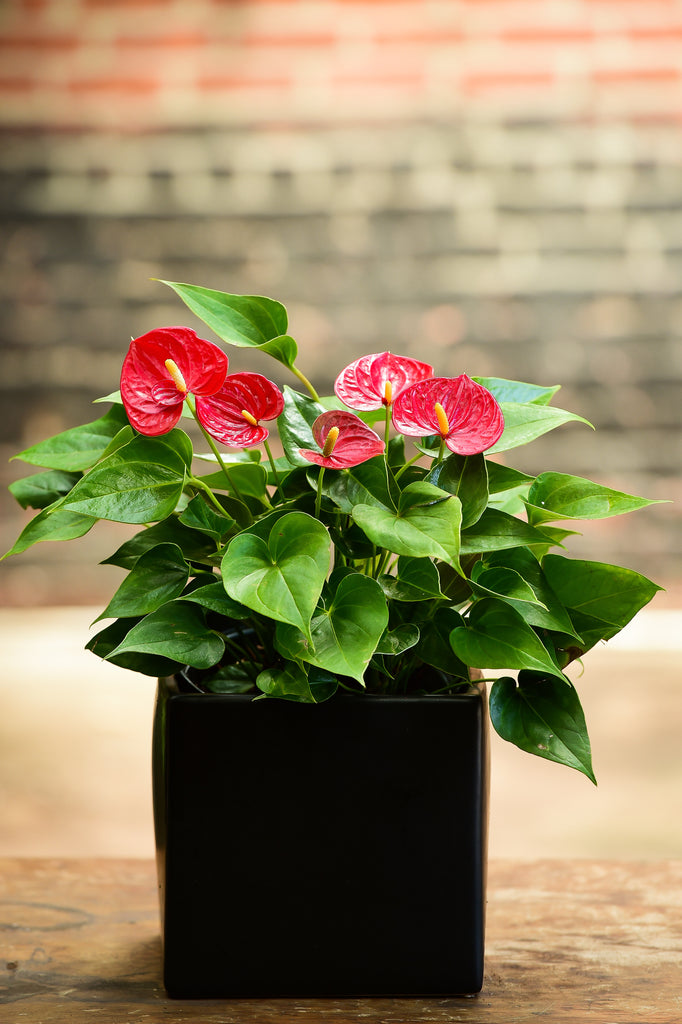 Lady Jane Anthurium