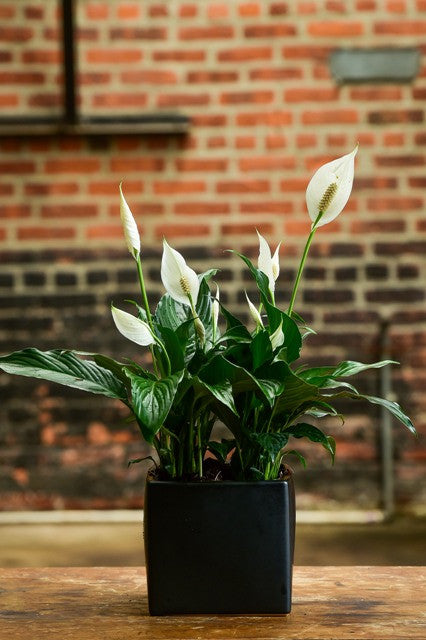 Spathiphyllum 'Peace Lily' (Tabletop)