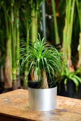 Ponytail Palm Delivery NYC Brushed Chrome Gift