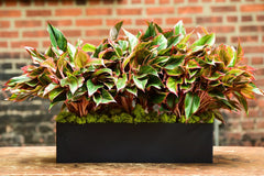 Red Aglaonema Tabletop Black Rectangle Delivery NYC
