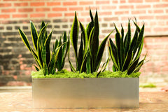 Snake Plant Sansevieria Plant Delivery NYC Gift