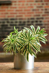 Dracaena Reflexa Song of India Tabletop Plant Delivery NYC