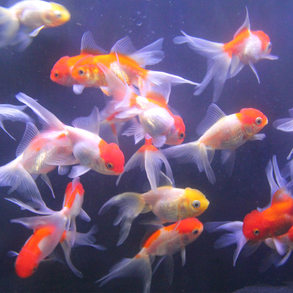 Koi Goldfish | Shop Goldfish King Koi And Goldfish