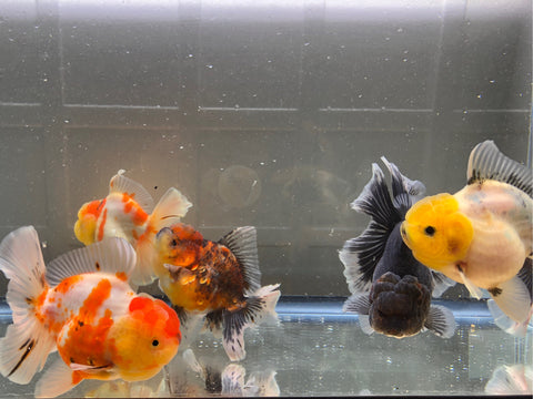 small rose tail thai oranda