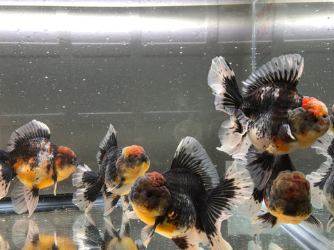 medium size rose tail thai oranda