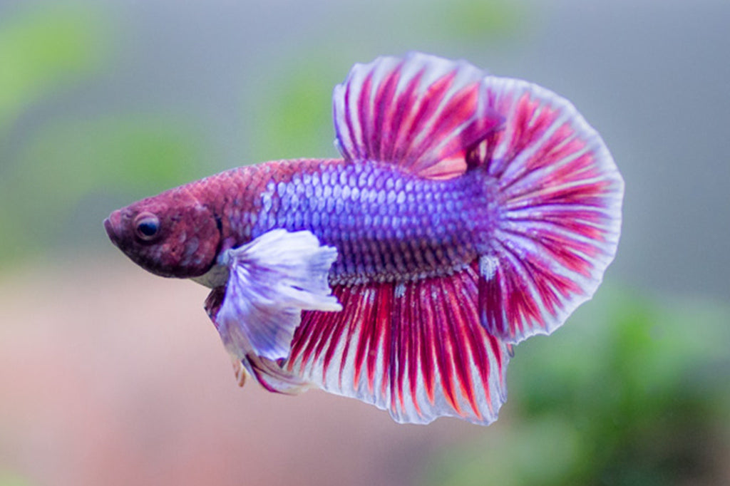 Dumbo Plakat Betta