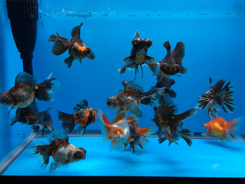 "4-5"" butterfly tail goldfish"