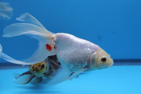 White Eggfish with Phoenix Tail