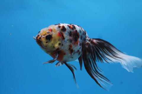 Calico Eggfish with Phoenix Tail